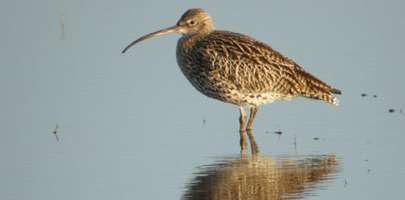 Picture of an adult Curlew paddling around in a shallow pond.