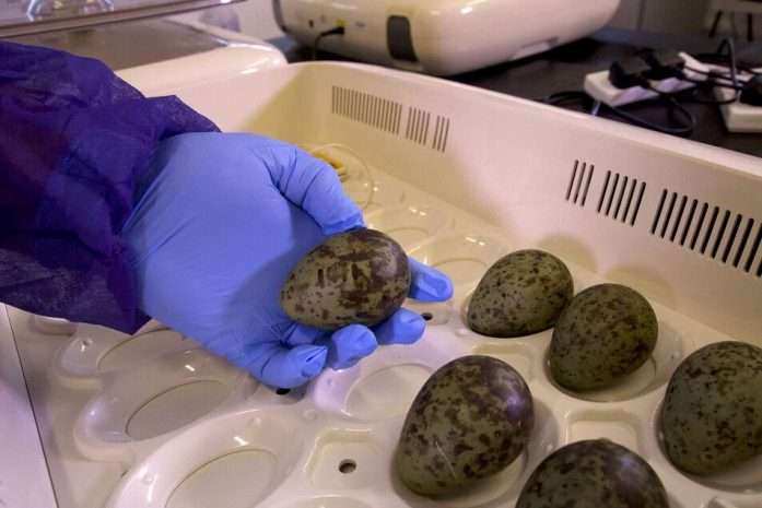 Curlew eggs collected from RAF airfields to hatch at Slimbridge Nature Reserve [Copyright WWT 2019]