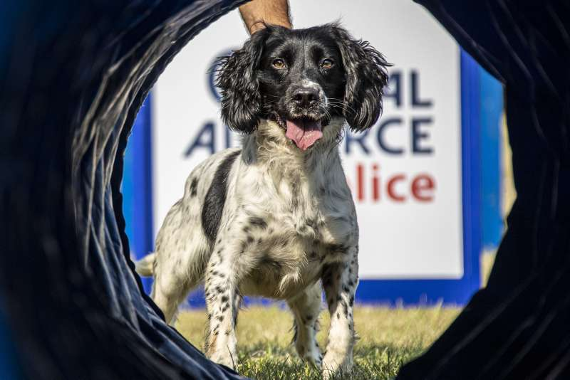 Military Working Dog Bruce, primed and ready to attempt an obstacle as the Royal Air Force Police Dog Display Team undergo training at RAF Henlow.
